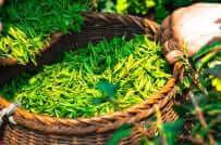 tea time in Britain freshly harvested tea leaves