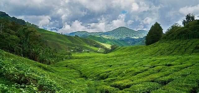 tea time in Britain tea plantation